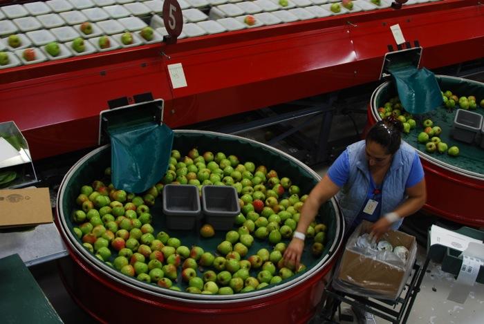 Harry & David team member sorting pears