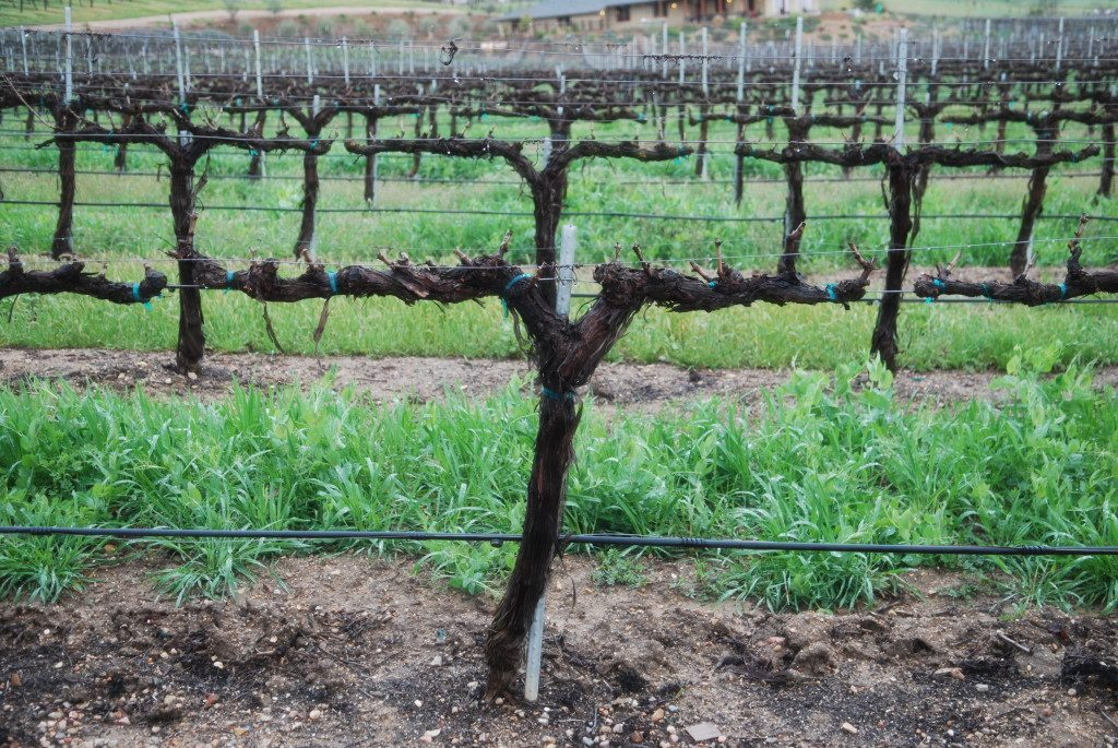 The vines of Stillwater Vineyards in Paso Robles, CA