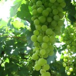 Bunch of Torrontes grapes